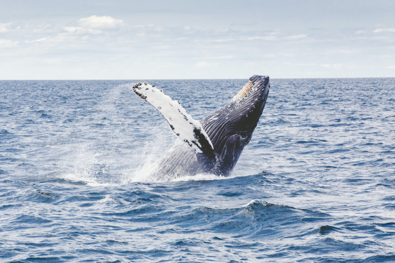 hoe groot is een walvis?