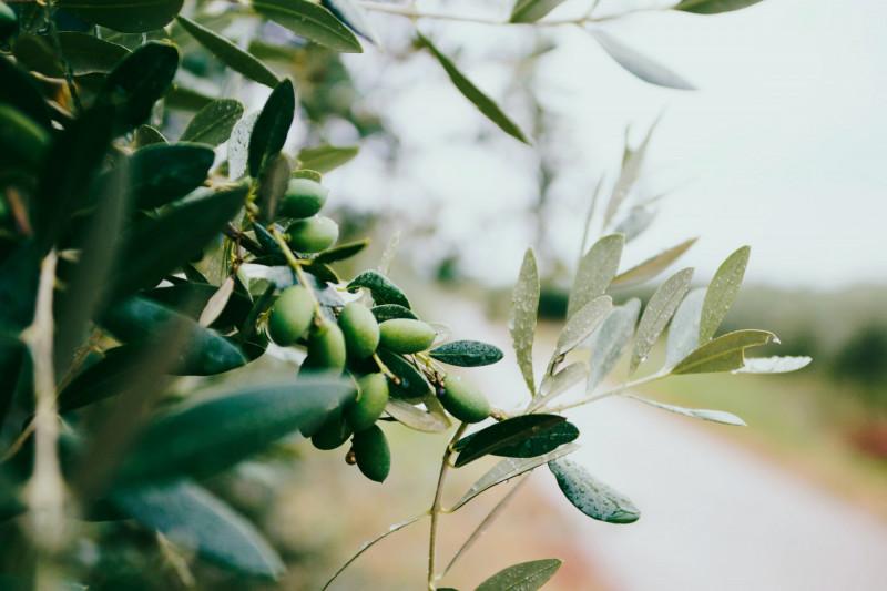 Is een olijf groente of fruit