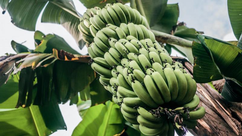 waarom zijn bananen krom